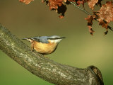 Nuthatch, Sitta Europaea Perched on Log in Autumn UK Stampa fotografica di Mark Hamblin