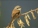 Rufous-Backed Shrike, Perched on Thorn Bush, N. India Reproduction photographique par Mark Hamblin