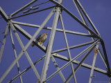 Common Buzzard, Adult on Electricity Pylon, Scotland Reproduction photographique par Mark Hamblin