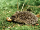 Hedgehog, Youngster Feeding on Snail, UK Lámina fotográfica por Mark Hamblin