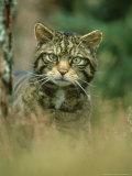 Wild Cat, Portrait, Scotland, UK Fotografie-Druck von Mark Hamblin