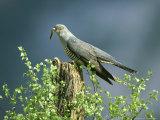 Cuckoo, Adult with Caterpillar, Scotland Reproduction photographique par Mark Hamblin