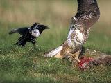 Buzzard, Fending off Magpie from Prey Reproduction photographique par Mark Hamblin