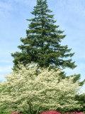 Azalea, Dogwood and Norway Spruce Tree Fotografie-Druck von Mark Hamblin