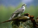Goshawk, Feeding on Pheasant, Scotland Stampa fotografica di Mark Hamblin