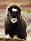 Musk Ox, Portrait of Adult Female on Tundra, Norway Stampa fotografica di Mark Hamblin