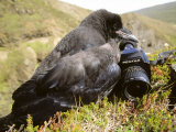 Common Raven, and Camera, Iceland Reproduction photographique par Philippe Henry