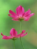 Cosmos Flowers, Cosmos Bipinnatus Skyward View Fotoprint van Adam Jones