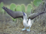 Blue Footed Booby, Sky Pointing Courtship Display, Galapagos Photographic Print by Mark Jones
