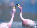 Jamess Flamingo, Males Squabbling, Bolivia Photographic Print by Mark Jones