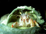 Hermit Crab, Trying Shell for Size, UK Photographic Print by Paul Kay