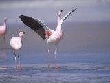 Jamess Flamingo, Courtship Display, Laguna Colorada, Bolivia Photographic Print by Mark Jones