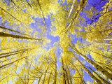 Skyward View, up Through Quaking Aspen Trees in Autumn Gu Nnison National Forest, Colorado Fotografie-Druck von Adam Jones