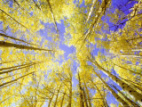 Skyward View, up Through Quaking Aspen Trees in Autumn Gu Nnison National Forest, Colorado Lámina fotográfica por Adam Jones