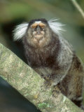White Tufted-Eared Marmoset, Tijuca National Park, Brazil Photographic Print by Mark Jones