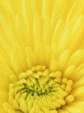 Close-up Pattern in Yellow Mum Fotografie-Druck von Adam Jones