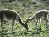 Vicuna, Mother with 3 Week Old Baby, Peruvian Andes Photographic Print by Mark Jones