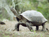 Giant Tortoise, Birds Picking Ticks, Isabella Island, Galapagos Photographic Print by Mark Jones