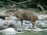 Lowland Tapir, Frequenting Mineral Seep, Yanachaga-Chemellin National Park, Peru Lámina fotográfica por Mark Jones