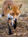 Red Fox, Fox Walking Head-On Through Pine Needles and Leaf Litter, Lancashire, UK Stampa fotografica di Elliot Neep
