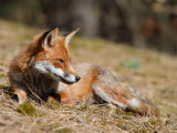 Red Fox, Young Male Fox Sun-Bathing, Lancashire, UK Stampa fotografica di Elliot Neep