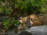 Bengal Tiger, 11 Month Old Cub on Rocks, Madhya Pradesh, India Stampa fotografica di Elliot Neep