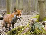 Red Fox, Alert Fox Standing Next to Fallen Tree, Lancashire, UK Stampa fotografica di Elliot Neep
