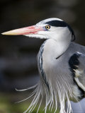 Grey Heron, Head and Chest Portrait Showing Breast Plumes, London, UK Stampa fotografica di Elliot Neep