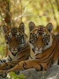 Bengal Tiger, 11 Month Old Juveniles, Madhya Pradesh, India Stampa fotografica di Elliot Neep