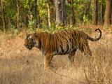 Bengal Tiger, Male Walking in Grass, Madhya Pradesh, India Stampa fotografica di Elliot Neep