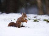 Red Squirrel, Sat in Snow, Lancashire, UK Stampa fotografica di Elliot Neep