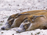 Red River Hog, Resting Pair, Zoo Animal Fotografie-Druck von Stan Osolinski