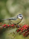 Blue Tit, Perching, Middlesex, UK Stampa fotografica di Elliot Neep