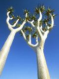 Quiver Tree, Namib-Naukluft Park, Namibia Fotografisk tryk af Richard Packwood