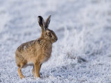 Common Hare, Standing in Haw-Frost Field, Lancashire, UK Stampa fotografica di Elliot Neep