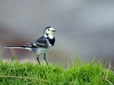 Pied Wagtail, Standing in Grass, Scotland Stampa fotografica di Elliot Neep