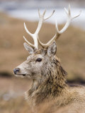 Highland Red Deer, Portrait of Stag, the Highlands, Scotland Stampa fotografica di Elliot Neep