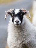 Portrait of Sheep, Scotland Stampa fotografica di Elliot Neep