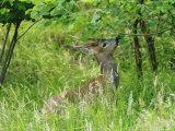 Roe Deer, Buck Reaching up to Eat Spring Leaves, Sussex, UK Stampa fotografica di Elliot Neep