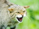 Wild Cat, Portrait of Captive Adult in Aggressive Pose, UK Fotografisk tryk af Mike Powles