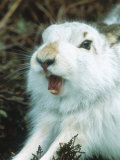 Mountain Hare or Blue Hare, Yawning and Stretching, Scotland, UK Fotografisk tryk af Richard Packwood