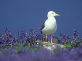 Lesser Black-Backed Gull, and Bluebells, UK Fotografisk tryk af Richard Packwood