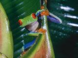 Gaudy Leaf Frog, Costa Rica Fotografisk tryk af Mary Plage