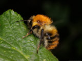 Common Carder Bee, Adult Worker, Peterborough, UK Photographic Print by Keith Porter