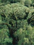 Hagenia Abbysinnica Trees, Rwanda Fotografisk tryk af Mary Plage