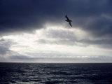 Southern Giant Petrel at Sea, Argentina Fotografisk tryk af Mary Plage