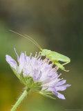 Oak Bush Cricket, Adult on Cornflower Head, UK Fotografisk tryk af Mike Powles