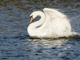 Mute Swan, Splashing During Bathing, UK Fotografisk tryk af Mike Powles