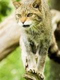 Wild Cat Adult, UK Fotografisk tryk af Mike Powles