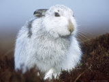 Mountain Hare or Blue Hare, Conspicuous with No Snow, Scotland, UK Fotografisk tryk af Richard Packwood